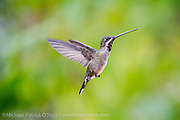 A female Long billed Starthroat Hummingbird, Heliomaster longirostris, one of 13 hummingbird species found in Trinidad.