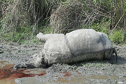 © Licensed to London News Pictures. 12/04/2012. Assam , INDIA The decomposed body of a rhino with its horns removed was found in Kaziranga National Park (KNP) on APR 12 ,2013.The adult male rhino was suspected to have been killed by poachers earlier this week. Forest guards found the carcass between Pohumara and Rangamati camps in Agratoli range after foul smell in the area.This is the 21st rhino killed by poachers this year. According to the latest census conducted in March, there were 2,329 rhinos in KNP. Photo credit : ANUWAR HAZARIKA/LNP
