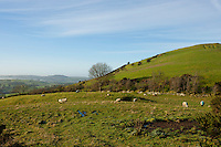 Sheep grazing with hill behind them, County Meath, Ireland