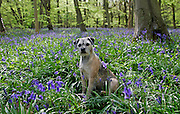 Quiet moment for a Border Terrier dog called Jess among bluebells growing in a wood