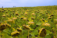 A field of Sunflowers growing in western Wisconsin. ..