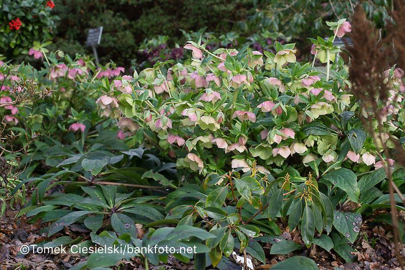 Helleborus hybridus primrose-flowered