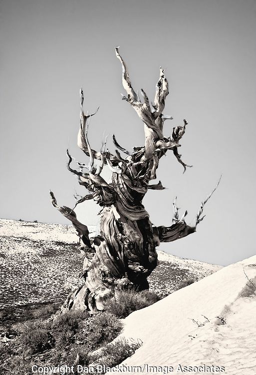 Ancient Bristlecone Pine in Winter in the White Mountains of California.