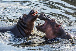 Two young hippopotamus (Hippopotamus amphibious) play-fighting in the water, Masai Mara, Kenya