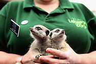 LONDON - APRIL 30:  Senior Keeper, Suzi Hyde with the pair of baby meerkats named Lia and Roo, who she has been hand rearing since their mother abandoned them at London Zoo on 30 April, 2009 in London, England.  (Photo by Tim Whitby/Getty Images)