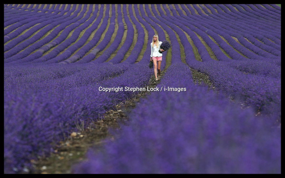 Lorna Roberts walks through rows of kentish lavender at the Castle Farm Lavender Festival  at Shoreham, Kent, Sunday, 15th July 2012  Photo by: Stephen Lock / i-Images