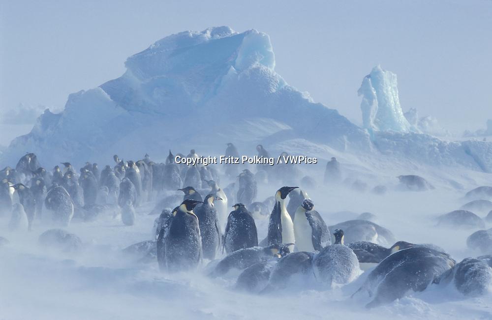 Emperor penguin (Aptenodytes forsteri) in snow storm, Emperor penguins, colony, Dawson-Lambton glacier, Antarctica, December..Kaiserpinguin, Kaiserpinguine im Schneesturm, Kolonie, Dawson-Lambton Gletscher, Antarktis, Dezember.