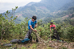 Coca farmers harvest the coca plant in the village of Santiaro. In Vrae, a state of emergency is in place since 30 years. Some 70 percent of Peru's total coca production are produced in Vrae. <br /> <br /> Colombia and Peru's flip-flop as the world's largest supplier of coca and producer of cocaine.