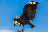 young andean blak condor  near Villa de Leyva Boyaca in Colombia South America
