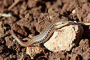Lacerta laevis lizard found in Cyprus, Israel, Jordan, Lebanon, Palestinian Territory, Syria, and Turkey.