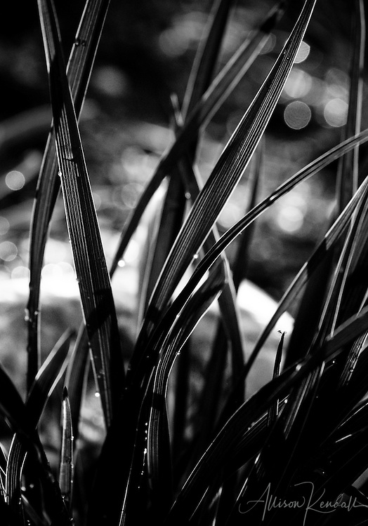 Light shines through striped flax leaves and water drops