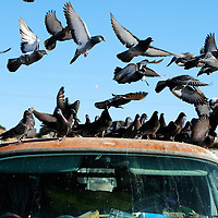 010512  Adron Gardner<br /> <br /> A flock of pigeons monopolizes the roof of an old van at the  flea market in Gallup Saturday.