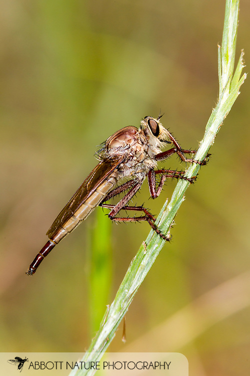 Robber Fly (Proctacanthus ?gracilis)<br /> TEXAS: Jasper Co.<br /> Boykin Springs Recreational Area; Angelina National Forest<br /> Pitcher Plant Bog on gas pipeline easement<br /> 20-Jul-2015<br /> J.C. Abbott #2772 &amp; K.K. Abbott