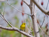 Yellow Palm Warbler of.the eastern subspecies, Dendroica palmarum hypochrysea at the Don Valley Brickworks, April 2011, Toronto.