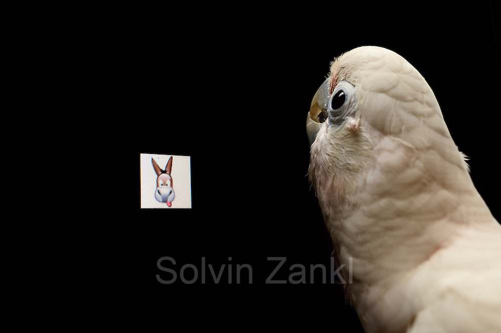 [captive] Goffin's cockatoo (Cacatua goffiniana) in front of a touch screen. It operates the touch screen with its tongue. In this experiment, the cockatoo is shown a picture that it has to recognise in the next step. Goffin's cockatoos or Tanimbar Corellas are endemic to the Tanimbar archipelago in Indonesia. Research on their cognitive abilities is done in the Goffin Lab (Lower Austria) by Dr. Alice M. I. Auersperg. | Der Goffinkakadu (Cacatua goffiniana) steht vor einem Touchscreen, den er mit seiner Zunge bedienen kann. In diesem Versuch muss er ein Bild wiedererkennen, dass ihm vorher gezeigt wurde. Der Goffinkakadu ist eine Papageienart und kommt in freier Wildbahn ausschließlich auf der indonesischen Inselgruppe Tanimbar vor. Forschung zu kognitiven Fähigkeiten des Goffinkakadus wird im Goffin Lab (Niederösterreich) von Dr. Alice M. I. Auersperg durchgeführt.