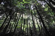 Australia, New South Wales, Blue Mountains Katoomba, (Near Sydney) Rubber Gum (Eucalyptus oreades) AKA Blue Mountains Ash