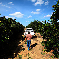 LAKE WALES, FL -- October 13, 2010 -- Citrus grower Marty McKenna walks through one of his damaged orange groves in Lake Wales, Fla., on Wednesday, October 13, 2010.  The housing bust left orange groves - which were scooped up by investors - unattended, overgrown and full with disease.  That disease is spreading to healthy, adjacent fields - leaving citrus growers scrambling to replant lost production.  .ORANGES
