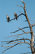 This pair of osprey were perched together in this tree just a little ways away from their nest along Route 89 following the coast of Cayuga Lake in the Finger Lakes Region of NY.