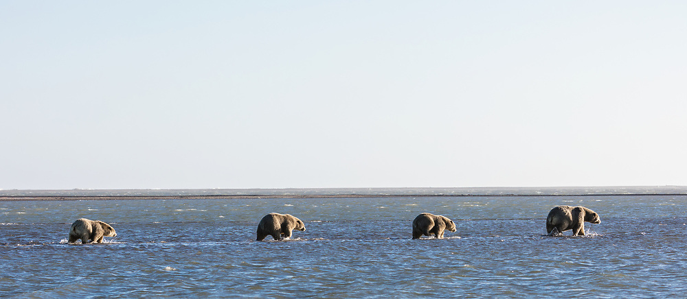 Sow polar bear (Ursus maritimus) and cubs walking in shallow water in the Beaufort Sea in Kaktovik, Alaska. Autumn. Morning.