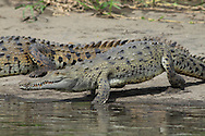 American Crocodile (Crocodylus acutus) walking into river to cool down.  River Tempisque, Guanacaste, Costa Rica. <br />