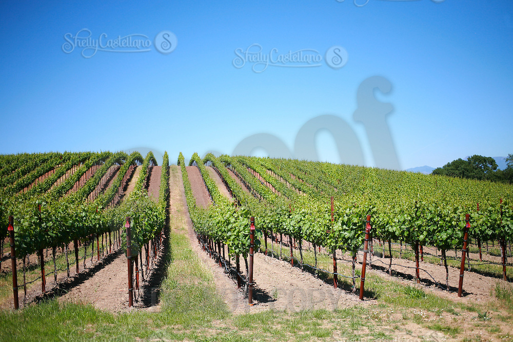 2013 May 13:  Williams Selyem Winery in Sonoma County's Russian River Valley.  Pinot Noir grape vines in summer sunlight in Healdsburg, California.