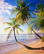 6212-1001B ~ Copyright: George H. H. Huey ~ Beach at Pigeon Point with coconut palms [cocos nucifera]. Caribbean. Island of Tobago.Trinidad and Tobago.