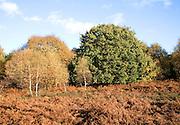 Heathland vegetation in autumn Suffolk Sandlings England