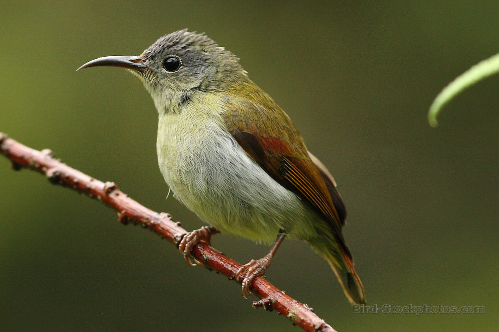 Temminck's Sunbird, Aethopyga temminckii, female, Malaysia, by Markus Lilje