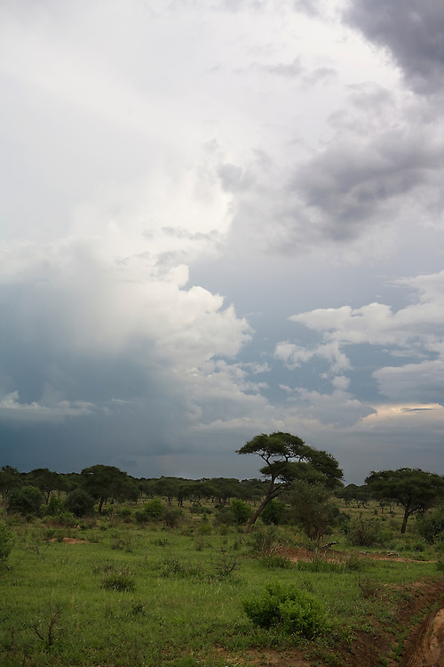 Thunderstorms and the return of green foliage mark the return of the long rains in Eastern Africa. Tarangire National Park, Tanzania, Renewal, Life