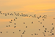 Migratory Starlings rest at Thames Estuary.  It is feared that Avian Flu (Bird Flu) could be brought to Britain from Europe by migrating birds.