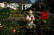 An elderly gentleman prunes his precious crop of fresh red roses from his front garden that sits astride the small River Wandle at Carshalton, south London. trimming off their heads, he s dressed in a straw hat and white apron. He is a very active gardener, the nurturing of plants and flowers being his passion now that he is of retirement age after a lifetime of work. Now he enjoys the rewards of his labours from mother earth in this lush plot of his that looks every bit the perfect English cottage garden despite it being in an urban inner-city.