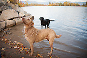 Canine portrait session with Wayne Augustine and his chesapeake bay retriever, Gus, and black lab, Tana
