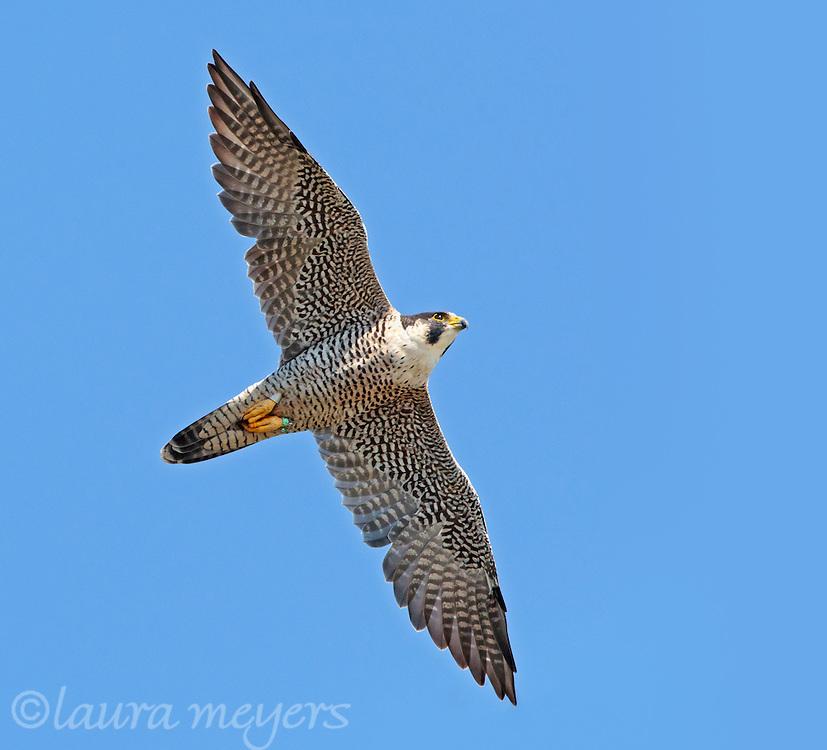 Peregine Falcon in flight
