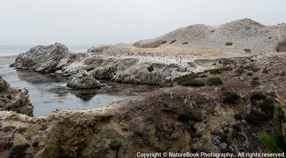 Hundreds of cormorants gather on an elevated area of Point Lobos along the Pacific Coast in California.