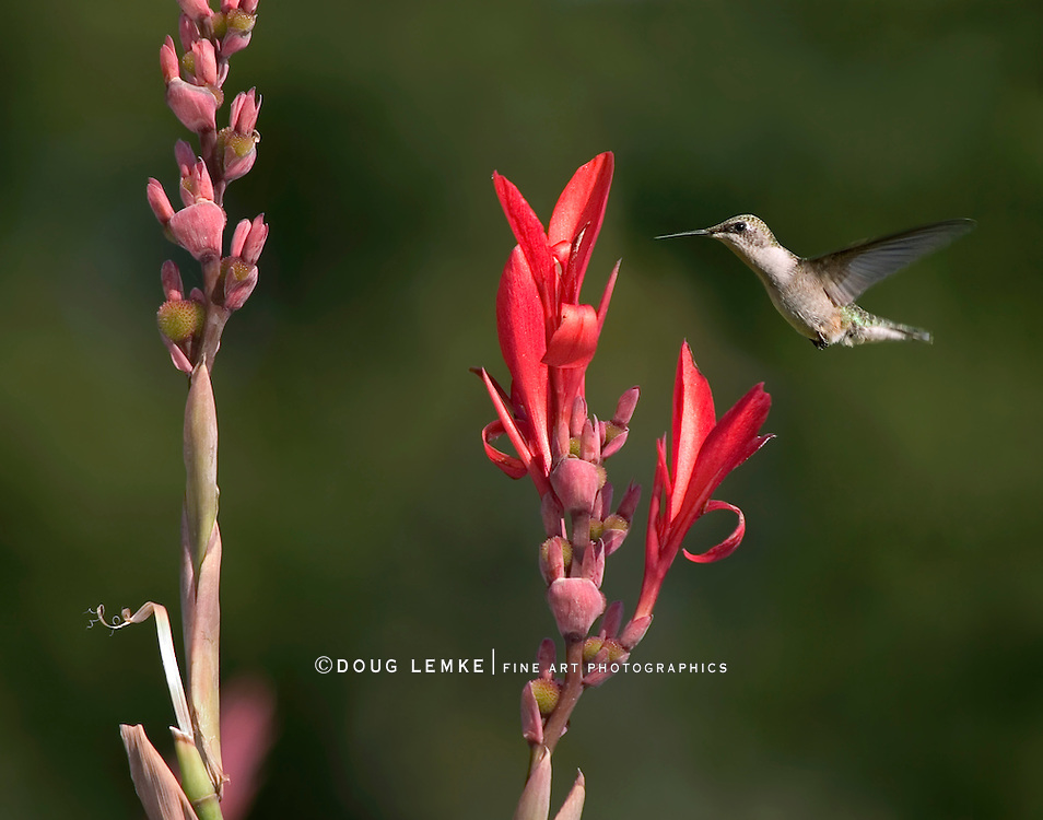 Ruby Throated Hummingbird, Female, Archilochus colubris, In Flight