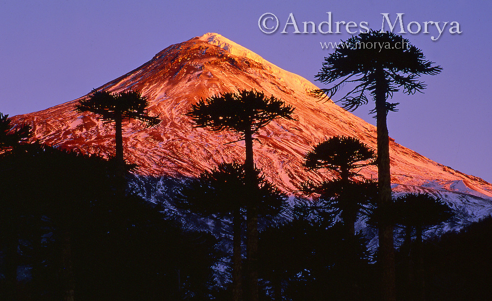 Araucaria Pines and Lanin Volcanoe at Sunset, Parque Nacional Villarrica, Chile Image by Andres Morya