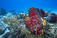 Pipe sponge - Eponge tubulaire (Aplysina archeri), Cozumel, Yucatan peninsula, Mexico.