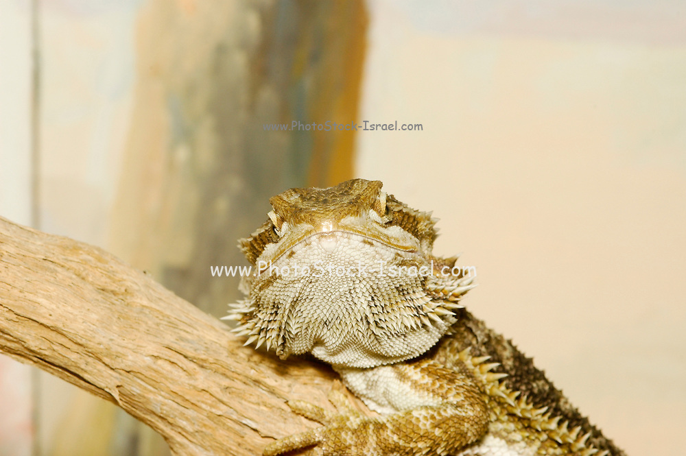 close up of an Egyptian Mastigure Uromastyx aegyptia lizard