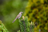 Song Sparrow (Melospiza melodia) singing in bushes Cherry Hill, Nova Scotia, Canada,