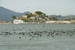 Cormorants and water, city of Tiburon on San Francisco Bay, CA, California.  Appealing community on Marin side with breakfast places, sailboats, outdoor dining, houses with scenic views, views of the Golden Gate, cormorant birdlife, public sculptures, a railroad museum, boutique art shops, and an historic China Cabin building from an ex-ship..Photo camari266-70325..Photo copyright Lee Foster, www.fostertravel.com, 510-549-2202, lee@fostertravel.com.