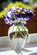 Purple pansies in a glass vase on a kitchen windowsill over a garden, Arlington, Virginia