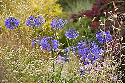 Agapanthus 'Loch Hope' growing with Sanguisorba 'Burr Blanc'