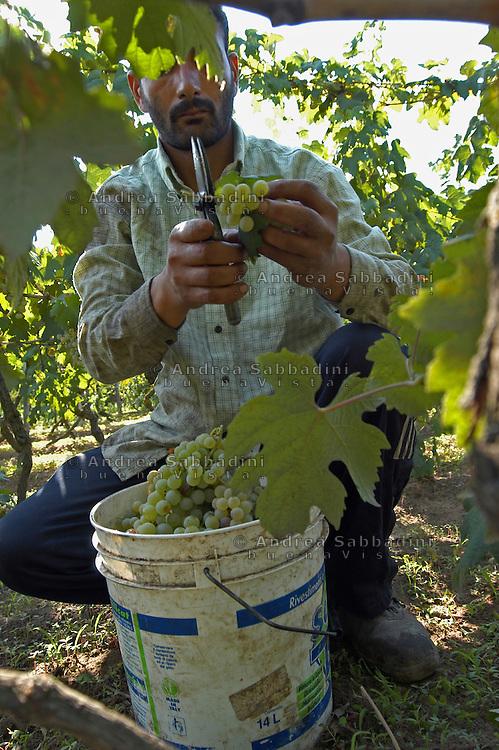 Vendemmia nella campagna romana, località La Seccia - Grape gathering
