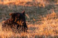 Small black Romanian shepherd dog resting in the grass in the Tarcu Mountains Natura2000 area close to the Meteorological Station of Cuntu. Southern Carpathians, Munții Ṭarcu, Caraș-Severin, Romania.