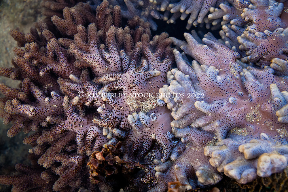 Soft corals in Camden Sound on the Kimberley coast.
