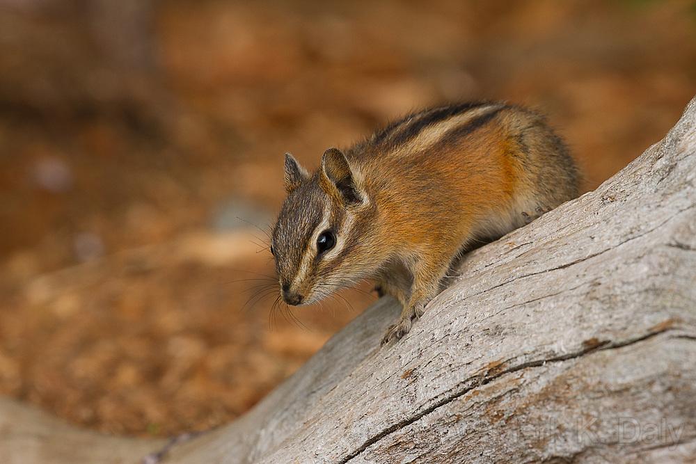 Northwestern Chipmunk