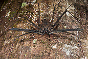 Tailless Whip Scorpion (order Amblypygi)<br /> Yasuni National Park, Amazon Rainforest<br /> ECUADOR. South America