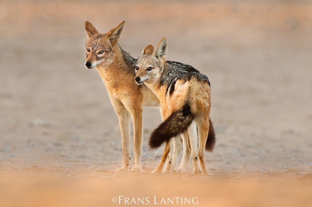 Black-backed jackal couple, Canis mesomelas, Sperrgebiet National Park, Namibia