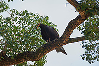 Lesser Yellow-headed Vulture (Cathartes burrovianus) , Araras Ecolodge,  Mato Grosso, Brazil (Photo: Peter Llewellyn)