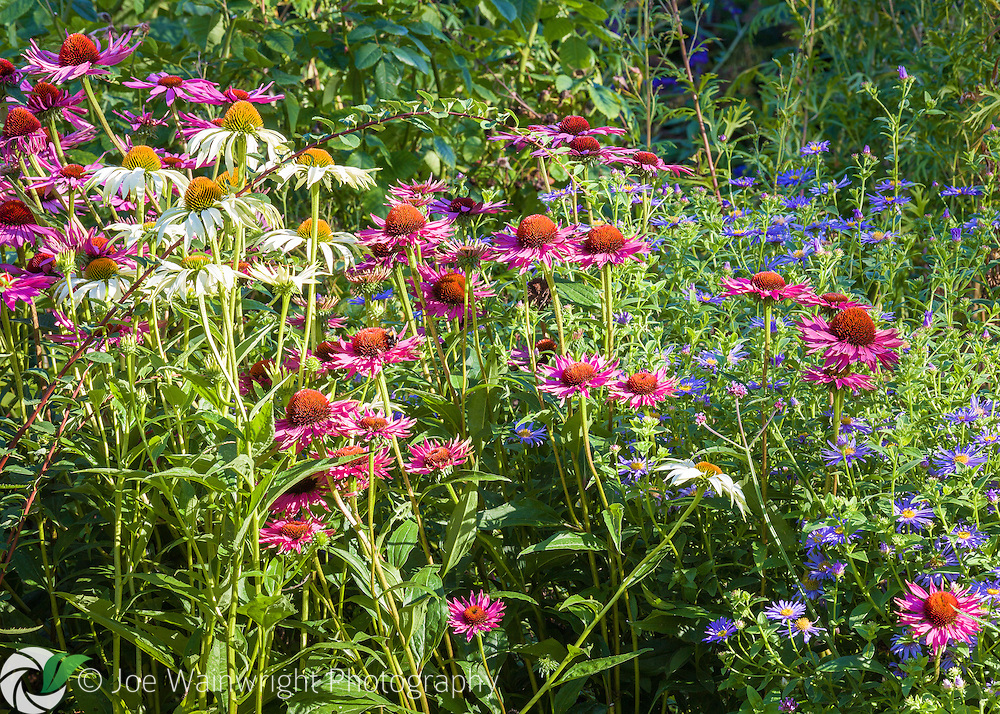 Echinaceas bring late summer colour to a border at Dorothy Clive Garden, Staffordshire